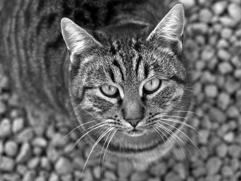 gato_en_blanco_y_negro-800x600